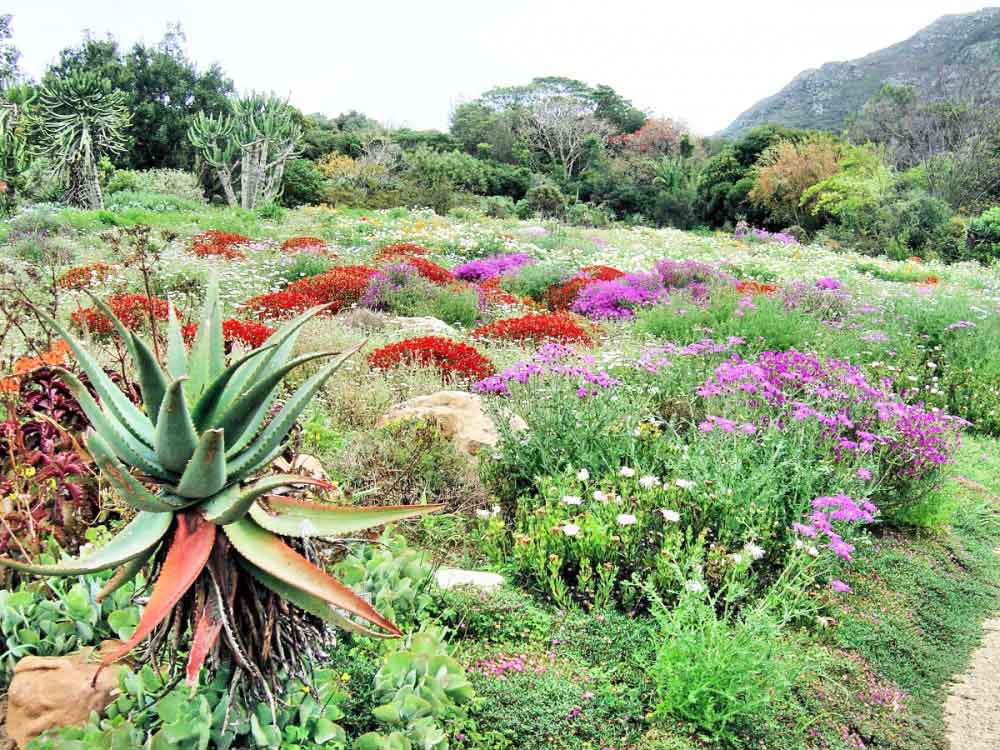 Kirstenbosch gardens cape town top gardens for Jardin kirstenbosch