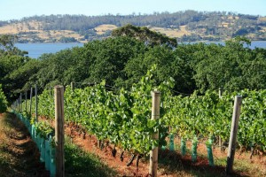 Vineyards sloping down to the Tamar River, Tasmania