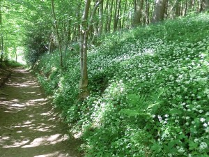 Footpath from Helmsley to Rievaulx with Wild Garlic