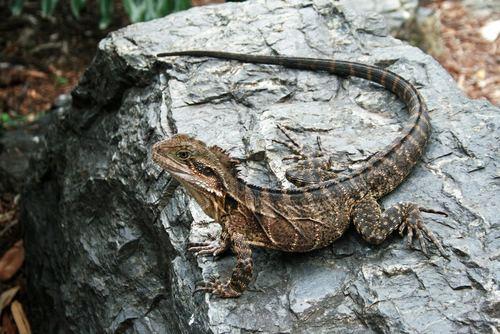 Australian Water Dragon: Brisbane And SE Queensland, Australia