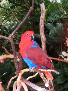 Eclectus Parrot in the Bloedel Conservatory