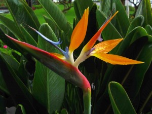 Close up of Bird of Paradise flower - Canon G15