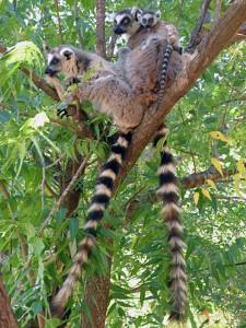 Ringtail lemur family