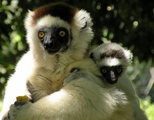 Sifaka lemur and baby
