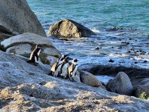 African Penguins at Boulder Beach