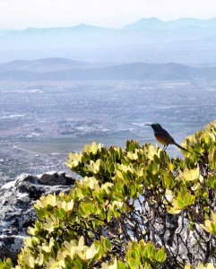 Sunbird on the summit of Table Mountain