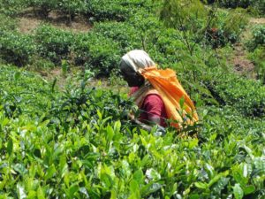 Sri Lanka: Tea picker on the Lipton Estate