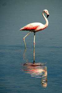 Flamingo at Salar de Aguas Calientes