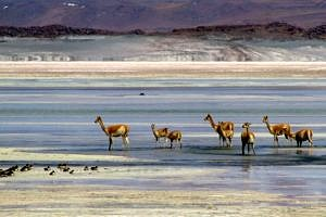 Vicuna at Salar De Aguas Calientes