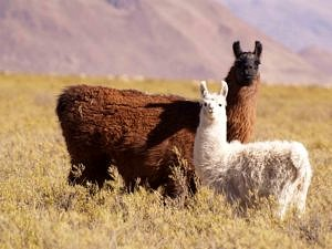 Alpacas on the pampa