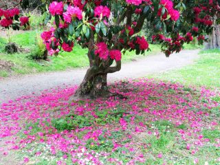Rhododendron at Kilmacurragh Gardens