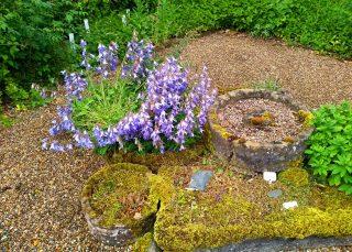 Campanulas in the Walled Garden