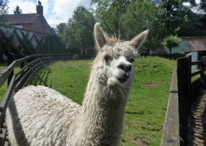 A Friendly Alpaca