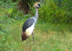Harewood: East Africa Crowned Crane